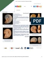 Fósiles - Ammonites - Phylloceratida - Región de Murcia Digital.pdf