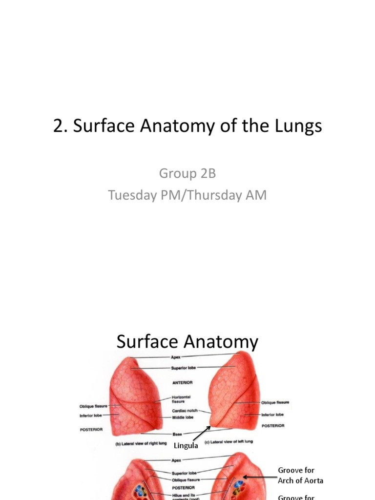 Surface Anatomy Lungs Group 2b