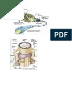 Graficas de Plexo Cervical
