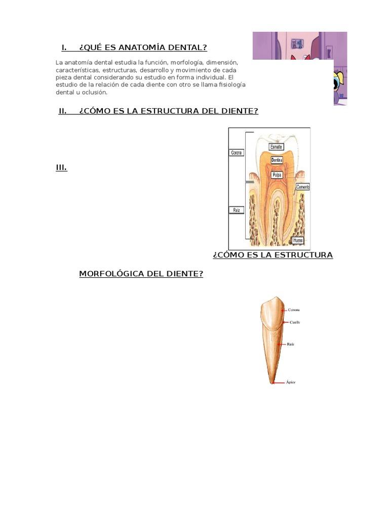Qué Es Anatomía Dental