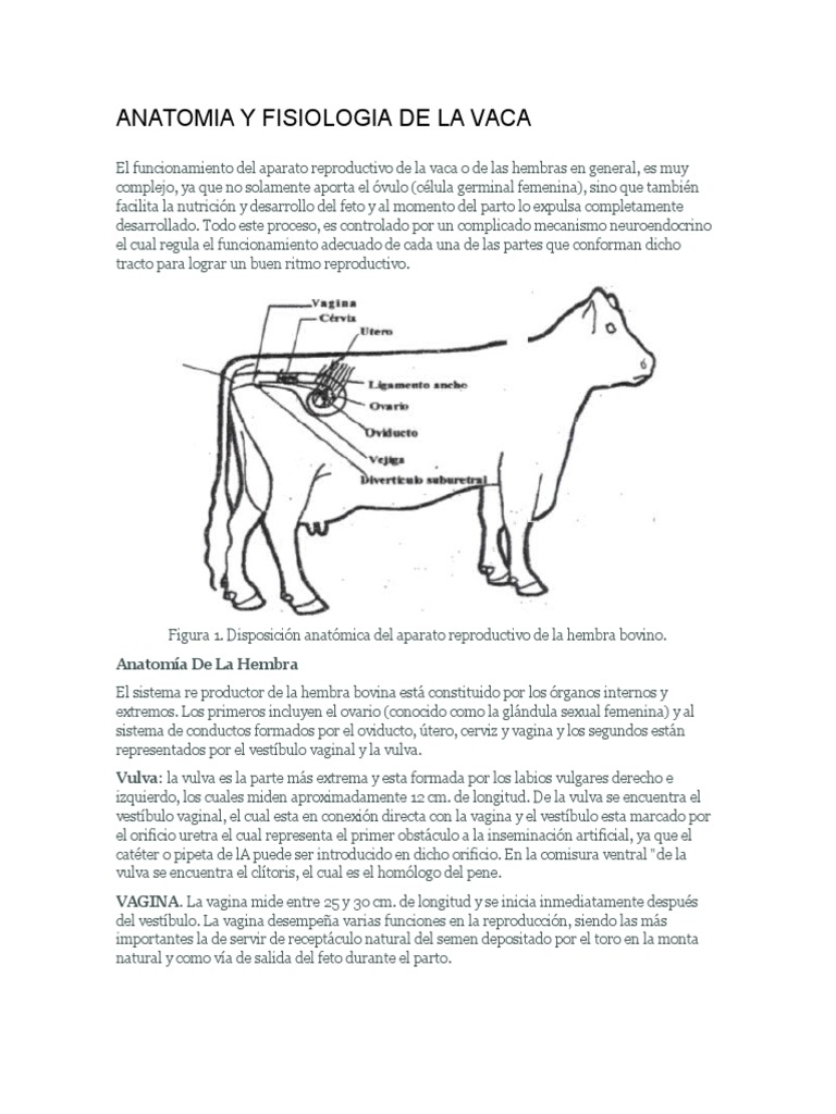 Moderno La Anatomía Y La Fisiología De La Vaca Foto - Anatomía de ...