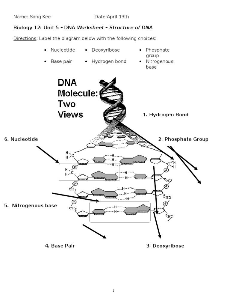 biology 12 unit 5 dna worksheet - dna strucuture 1   Nucleotides   Dna