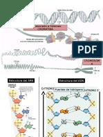 1 Replicacion ADN
