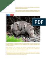 El Marsupio de Los Tlacuaches Es La Principal Característica Que Distingue a Estos Animales
