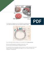 Desarrollo de Las Membranas Fetales y La Placenta