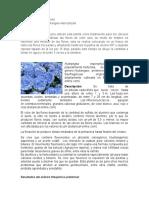 Hydrangea Macrophylla (1)