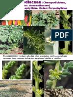 Chenopodiaceae