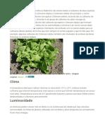 Plantar Chicoria