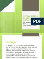 Cultivo de Lechuga Hidroponica