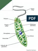 Euglenophyta