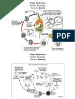 Ciclo biológico de parásitos