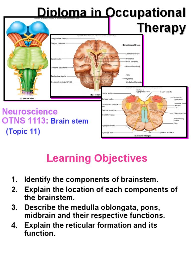 Brain Stem | Brainstem | Human Head And Neck