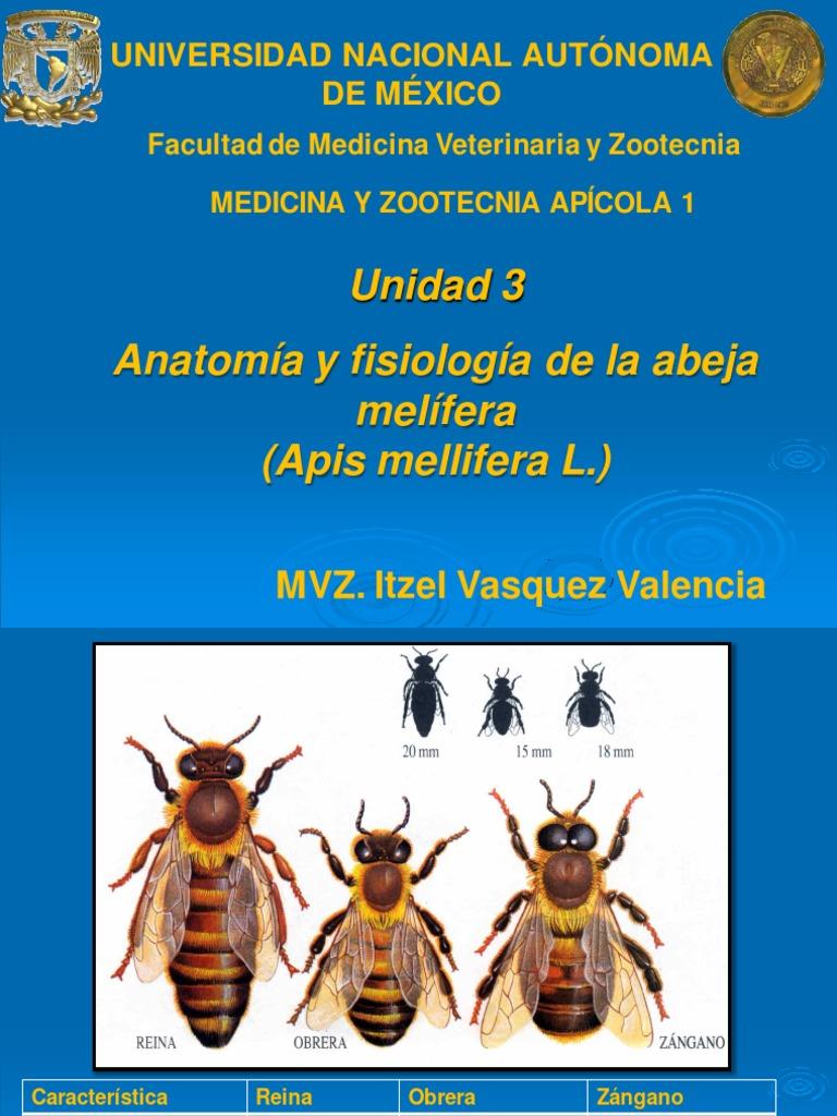 Famoso Abeja De La Miel Anatomía Fotos Fotos - Imágenes de Anatomía ...