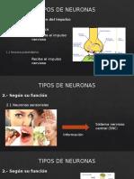 Tipos de Neuronas Exposicion