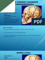 Expo Anatomia 2015 Carotida Externa