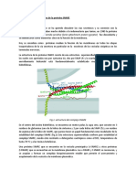 Descubrimiento y Estructura de La Proteína SNARE
