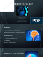 cerebro y lobulos