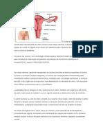 O Sistema Genital Feminino Plano