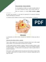 CÉLULA ANIMAL Y CÉLULA VEGETAL.docx