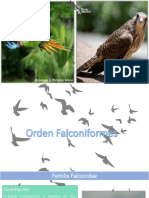 Flaconiformes - Ob. Aves