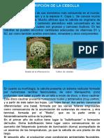 Diapositivas Cebolla