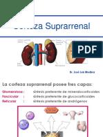 Corteza Suprarrenal. (Hsc y Sintesis de Corticoesteroides Suprarrenales) 2017