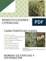 cyperacea