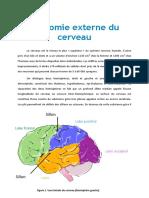 Anatmie Externe Du Cerveaux