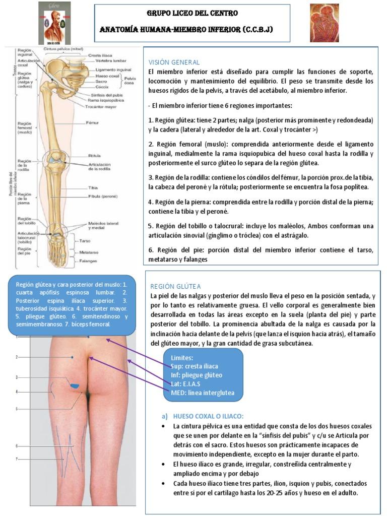 Increíble Cadera Y La Pierna Anatomía Molde - Imágenes de Anatomía ...