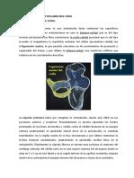 SUPERFICIES ARTICULARES DEL CODO.docx