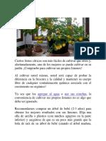Cultivo de Limon en Maceta