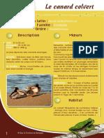 Canard Colvert - Fiche péda Eau & Rivières de Bretagne