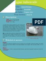 Cygne tuberculé  - Fiche péda Eau & Rivières de Bretagne
