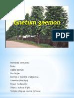 Presentación Gnetum gnemon