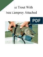 Sea Lamprey Photo