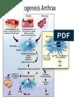 Patogenesis Anthrax