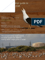 israel large gulls fast identification guide