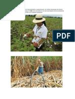 La Agricultura Vallecaucana Es La Más Importante y Variada Del País