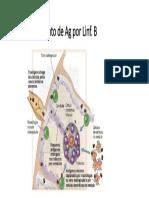 Reconhecimento Linfocito b
