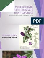 Morfología de Monocotiledóneas y Dicotiledóneas