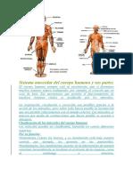 Sistema Muscular Del Cuerpo Humano y Sus Partes