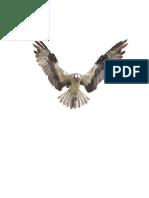 A Season With Osprey (Pandion Haliaetus) 2008