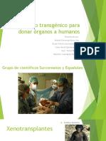 Cerdo Transgénico Para Donar Órganos a Humanos