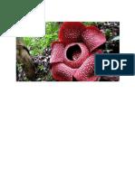 Berikut Adalah Ciri Ciri Bunga Rafflesia