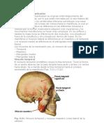 Músculos de la masticación.docx