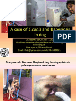 A case of E,canis and babesiosis in dog at Jibachha Veterinary hospital