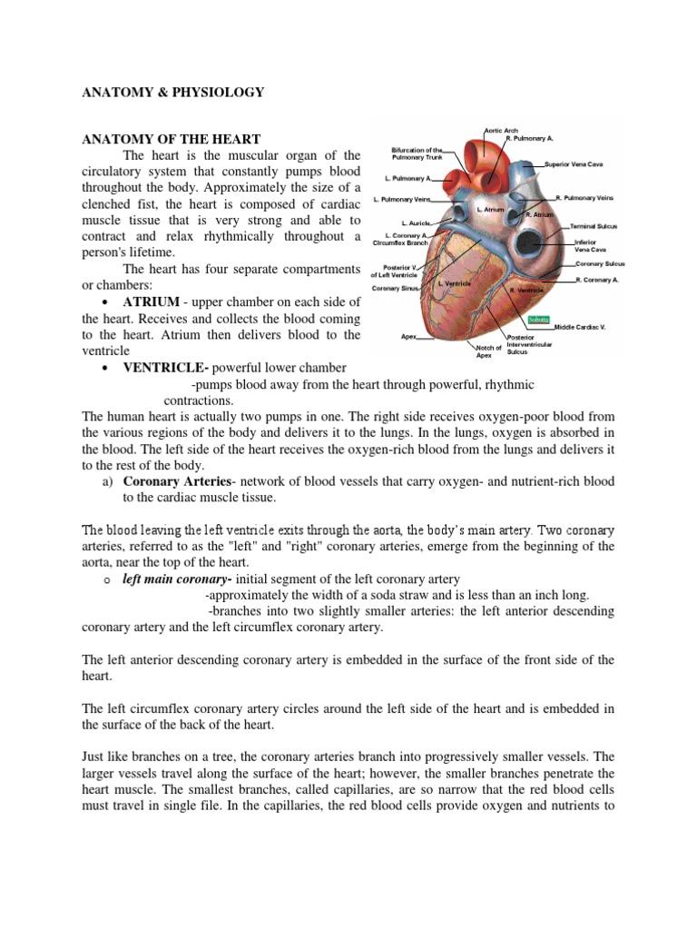 Wunderbar Anatomy Of Coronary Vessels Fotos - Menschliche Anatomie ...