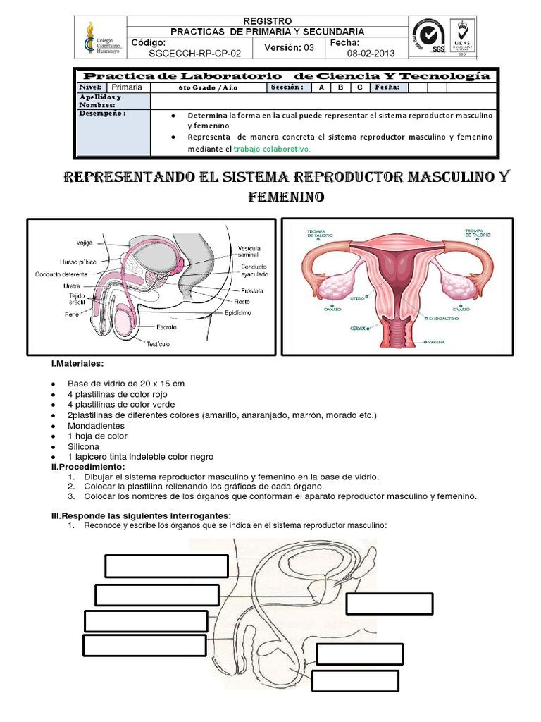 Practica de Laboratorio Representacion Del Sistema Reproductor ...