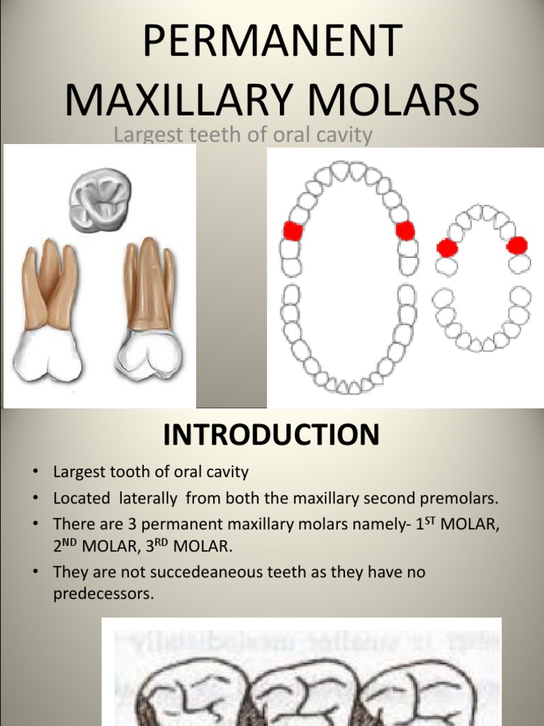 Maxillary Molars- Padminee | Mouth | Animal Anatomy
