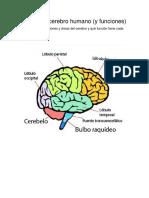 Partes Del Cerebro Humano